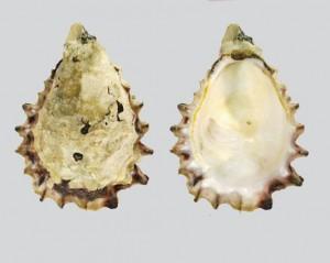 Crassostrea-glomerata